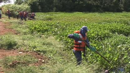 MEIO AMBIENTE - Planta que provoca morte de peixes começa a ser retirada de represa