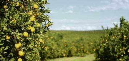 SAFRA - Chuvas provocam crescimento de 2,63% na safra de laranja 2017/18