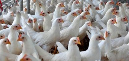 FRANGO/CEPEA - Média mensal da carne em SP é a menor em 11 anos