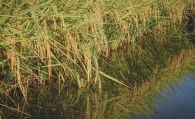 Área brasileira de arroz diminuiu quase 30% na década