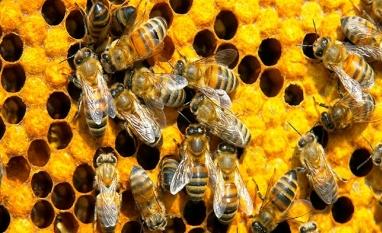 PROBLEMA - Pulverização contra zika está matando abelhas