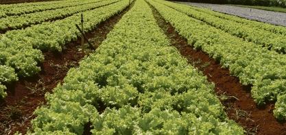 DESCOBERTA - Alface poderá produzir o ano todo