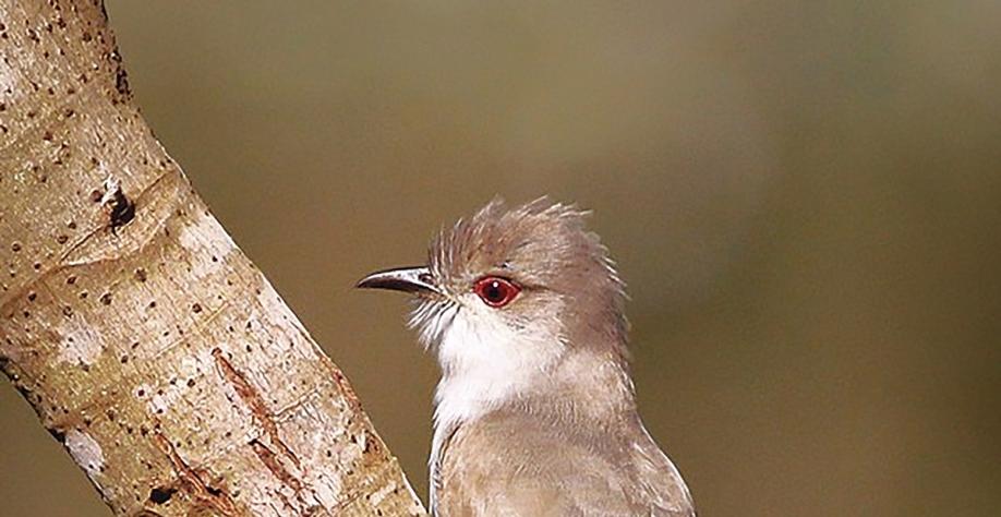 Papa-lagarta-cinzento: ave incomum é flagrada em Sertãozinho (SP)