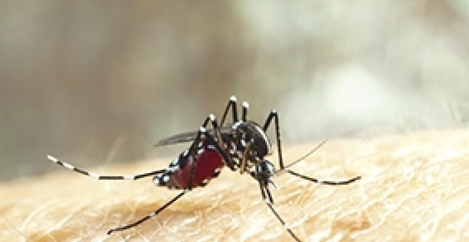 Dengue e chikungunya são ameaças em meio à pandemia da Covid-19